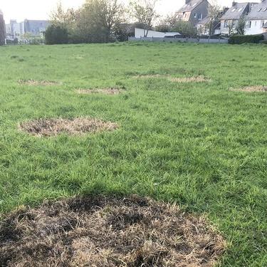 Au Tertre Marie-Dondaine, d'étranges cercles d'herbe jaunie…(OF)